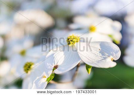 Macro Closeup Of White Dogwood Flowers On Tree