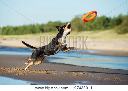 happy dog playing with a toy on the beach