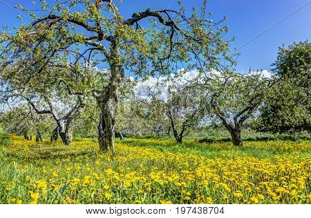 Apple Orchard With Many Blooming Trees With White And Pink Flowers During Summer