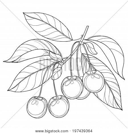 Vector branch with outline ripe Cherry, bunch, berry and leaves in black isolated on white background. Ornate floral elements with cherry fruit in contour style for summer design and coloring book.