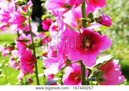 large flowers, mallow, mallow petals blossoming on the sky background