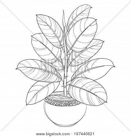 Vector outline ornamental houseplant Ficus elastic or rubber plant in pot isolated on white background. Indoor Ficus in contour style with ornate leaf in black for summer design and coloring book.