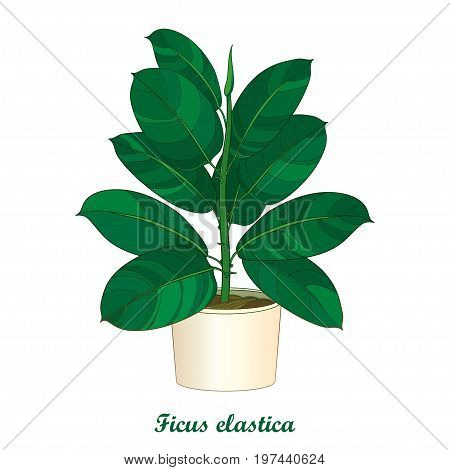 Vector outline ornamental houseplant Ficus elastic or rubber plant in beige flowerpot isolated on white background. Indoor Ficus in contour style with ornate green leaf for summer design.