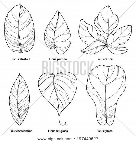 Vector set with outline ornamental Ficus leaf isolated on white background. Closeup Ficus ornate foliage in contour style in black for tropical summer design and coloring book.