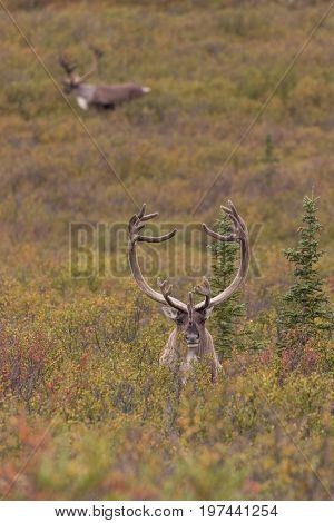 a barren ground caribou bull in velvet in Alaska