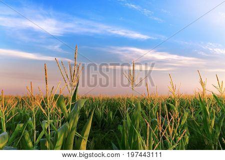 a corn field just after sunset / bright summer photo field of Ukraine