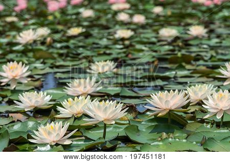 White and pink lotus background on swamp