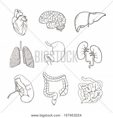 Realistic human organs set. Set of human anatomy parts liver, heart, kidney, lung, stomach, brain, colon spleen intestine Vector illustration