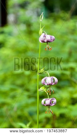 Flower Forest Lily Lilium Martagon
