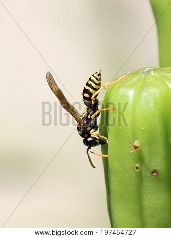 Yellow Jacket (Wasp) Walks on a Flower
