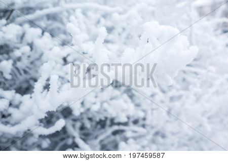 Tree Branches Covered With Show And Frost