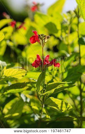 salvia heerii plant