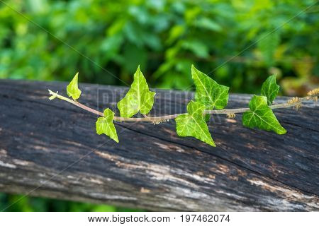 Lianas On A Wooden Board, Garden Decoration
