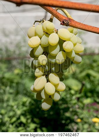 Bunches of wine grapes. Close up view of fresh sweet wine grape. Ripe grape growing at wine fields
