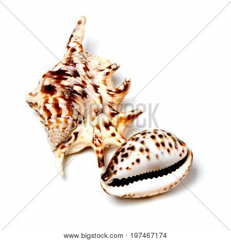 Two Exotic Seashells On White