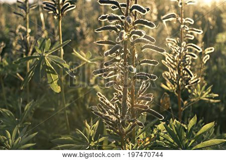 beautiful flowers grow in the field at sunset with backlighting
