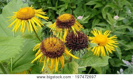 Flower elecampane , (Inula helenium),  Yellow flower