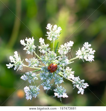 White Flower Resembling A Snowflake With A Ladybug In The Center