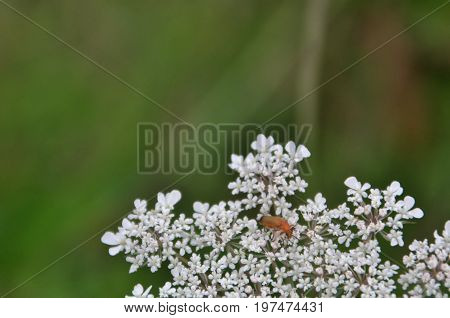 orange insect on a white flower resembling a snowflake