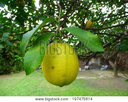 Mature lemon. Lemon hanging on its tree
