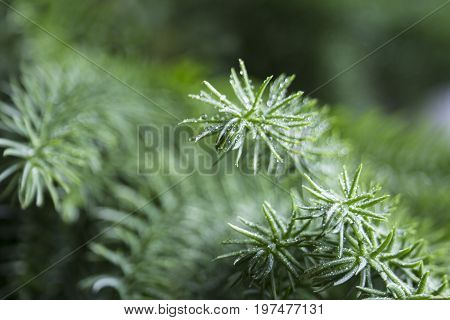 Branch of a conifer tree araucaria with raindrops and fresh air
