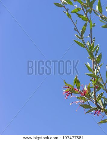 Australian Red grevillea flower with green foliage against clear blue sky for condolences greeting card background