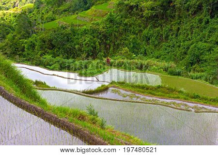 Steep terraces of rice plantations in Philippines. Agricultural landscape surrounded by lush tropical vegetation.