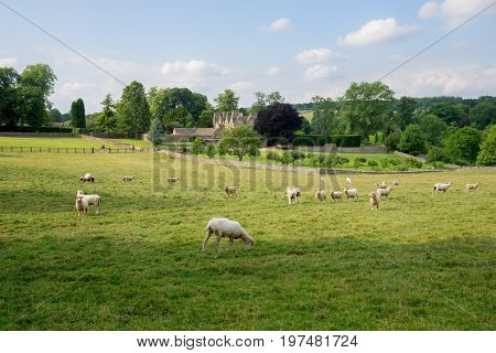 Sheep grazing near Upper Slaughter in the cotswolds in the English countryside.