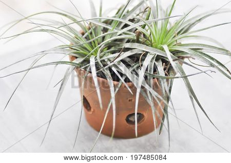 Tillandsia or Bromeliaceae plant on the floor