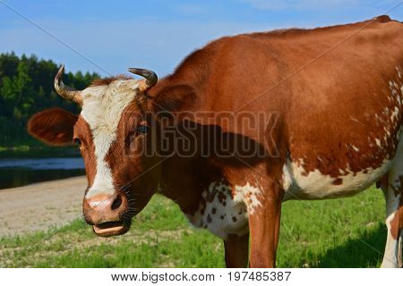 Brown and White Cow with Horns. Close-up of a head of brown and white heifer with horns
