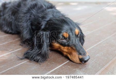 sleepy Dachshund (Longhaired) dog on the floor