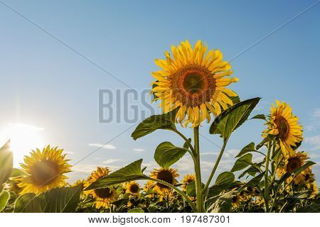 Sunflower natural background Sunflower blooming Sunflower oil improves skin health and promote cell regeneration.