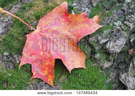 Red Autumn Leaf On Natural Background