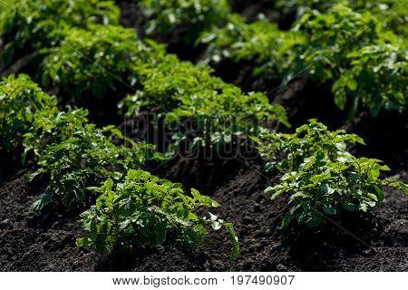 Green potatoes grow in the garden .