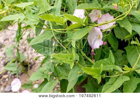 Convolvulus Arvensis Or Field Bindweed