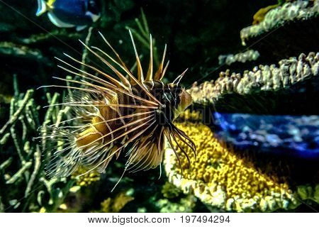Lionfish with colorful reef animals in the background