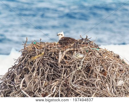 An Eastern Osprey on its very large, nest made of rope, seaweed and twigs, at Rottnest Island near Perth in Western Australia.