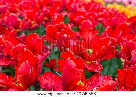 Scagit Valley Tulip Festival In Washington.