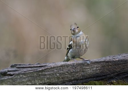 A juvenile chaffinch perched on an old gate looking straight directly at the camera viewer tilting its head