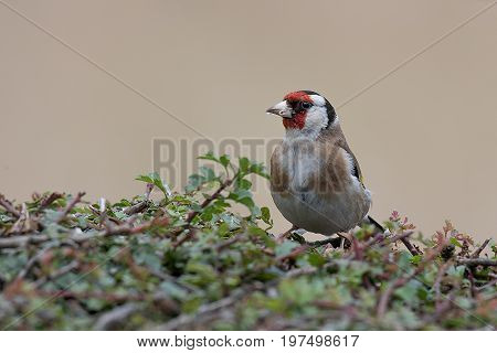 A close up of an adult goldfinch perched on a hedge looking to the left and with food in its beak