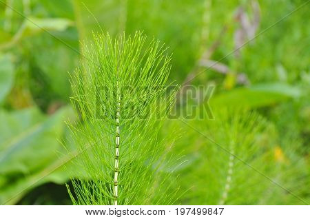Horsetail (Equisetum) healing plant bunch background. Equisetum arvense or Snake grass is a medicinal plant