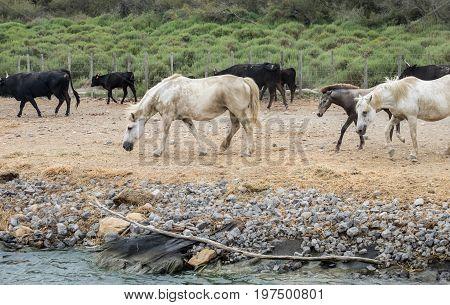 White Horses And Bullfighting Black Bulls. Camargue Park On Delta Rhone River, France