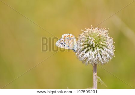 Common Blue or Polyommatus icarus, Small blue butterfly on Teasel flowers, Common blue butterfly on wild meadow