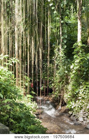 Massive tropical lianas hanging of giant tree jungle Bali Indonesia