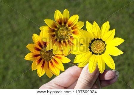 Three Gazania Rigen Flowers Held By Female Fingers Against Grass