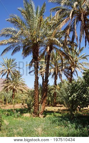 few date palms in oasis in northern Africa on a background of a empty and blue sky