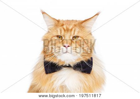 beautiful big maine coon cat with black bow tie. Copy space. Studio shot isolated on white background. Monochrome.