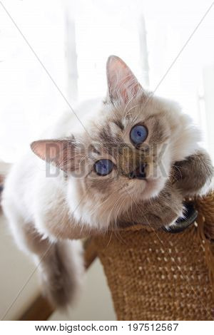 Purebred Siberian, Neva Masquerade cat. Kitten 6 months old, lying on a chair, with saturated blue eyes. Color-point: seal-tabby.