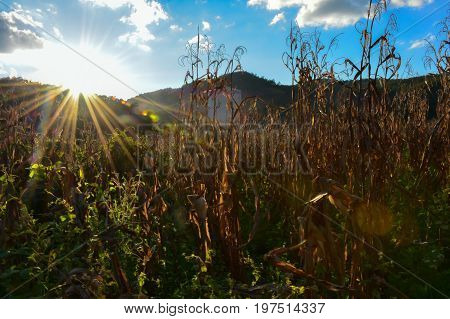Sunrise in the morning. At the cornfield, Beautiful morning landscape , Winter of thailand