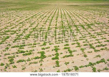 Soy field and soy plants. Climate Change and Global Warming. Soy agriculture.